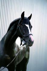Lugu hobusest Palladium