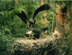 Toonela lind. Must-toonekurg